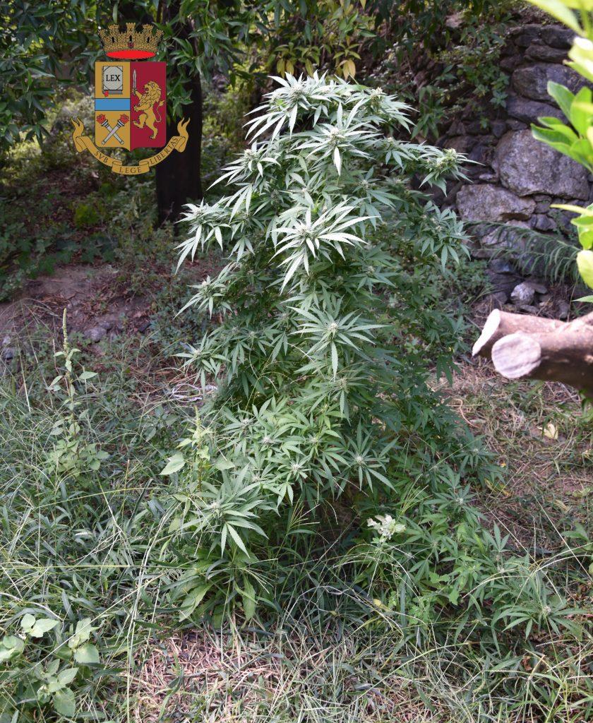 Polizia sequestro piante marijuana